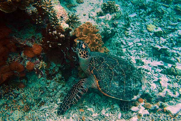 Sumilon Island Schildkröte